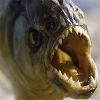 Điều gì xảy ra nếu không may rơi xuống hồ chứa loài cá ăn thịt?