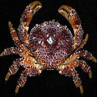 Điều ít ai biết về cua mặt quỷ độc ở ven biển miền Trung