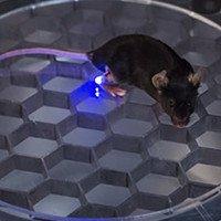Điều khiển động vật thí nghiệm theo ý muốn chỉ bằng sóng radio cùng ánh sáng nay đã trở thành hiện thực