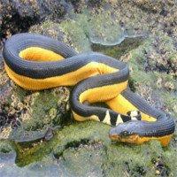Điều kỳ dị này đã giúp rắn biển không uống nước 6 - 7 tháng vẫn