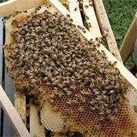 Dò bom mìn bằng cách kết hợp UAV với... ong