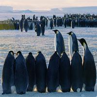 Đoàn làm phim đắp dốc cứu đàn chim cánh cụt rơi xuống hẻm núi
