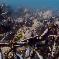 Đoàn quân cua nhện chen chúc bò dưới đáy biển