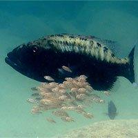 Độc đáo cảnh cá bố mẹ bảo vệ con bằng cách… nuốt vào mồm!