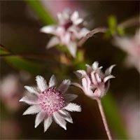 Độc đáo loài hoa chỉ xuất hiện sau những vụ cháy rừng