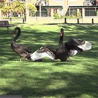 Đôi thiên nga đen đẩy lui quạ để bảo vệ con