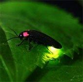 Đom đóm mang đến ý tưởng giúp đèn LED tăng độ sáng