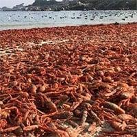 Dòng hải lưu khiến hàng triệu cua đỏ chết tập thể