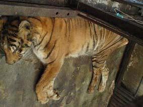 Động vật ở Vườn thú Indonesia đang lâm nguy