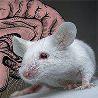 Dùng ánh sáng để dịch chuyển tức thời não chuột