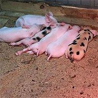 Dùng robot chữa thành công vô sinh ở lợn