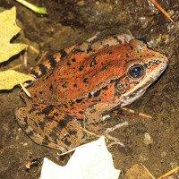 Dùng thuật toán để phát hiện loài ếch sắp tuyệt chủng