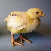 Dùng tia hồng ngoại xác định giới tính trứng gà