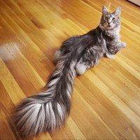 Đuôi dài gần nửa mét, mèo Cygnus ghi tên vào kỷ lục Guinness