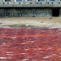 Đường đi của độc tố từ tảo đến con người qua chuỗi thức ăn