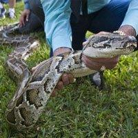 Florida đề xuất kêu gọi người dân ăn thịt trăn Miến Điện