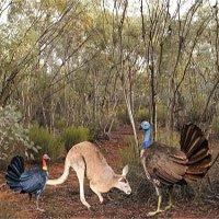 Gà bay cao một mét từng sống ở Australia