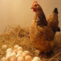 """Gà vô sinh có khả năng """"đẻ thuê"""" trứng"""