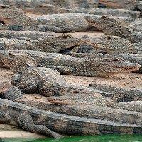 Gần 100 con cá sấu sổng chuồng trong mưa lũ ở Trung Quốc