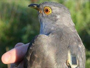 Gắn thiết bị vệ tinh theo dõi chim