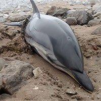 Gặp cá heo mắc cạn, đừng bao giờ thả chúng về lại tự nhiên ngay bởi vì...
