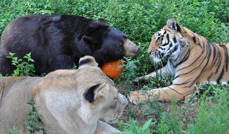 Gấu, hổ, sư tử ... rủ nhau cùng ăn kiêng giảm cân