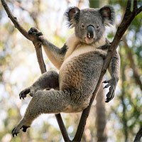 Gấu Koala trở thành