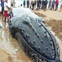 Giải cứu cá voi lưng gù 7 tấn mắc cạn trên bãi biển Brazil