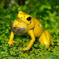 Giải đáp bí ẩn đằng sau con ếch độc bậc nhất thế giới