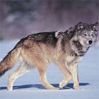 Giải mã hành động vẫy đuôi của loài sói