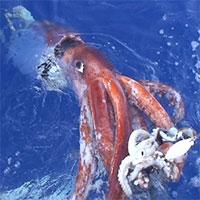 Giải mã thành công bộ gene của loài mực khổng lồ bí ẩn
