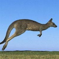"""Giai thoại về nguồn gốc cái tên """"kangaroo"""" của loài chuột túi"""