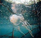 Giật mình với hiểm họa sứa xâm chiếm các đại dương