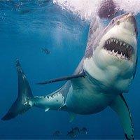 Giây phút kinh hoàng khi cá mập trắng dài 5m nhe răng tấn công thợ lặn