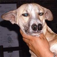 Giống chó cực kỳ hiếm có đến... 2 chiếc mũi