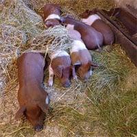 Giống lợn quý hiếm được coi là biểu tượng cho bản sắc văn hóa