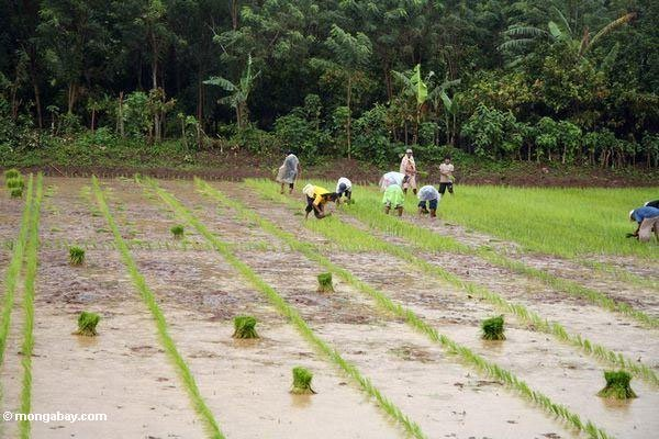 Giống lúa mới cải thiện năng suất cho khu vực Châu Á