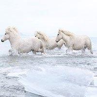 Giống ngựa huyền thoại ở băng đảo lạnh giá