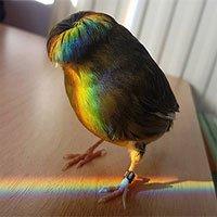 Gloster Canary: Loài chim kỳ lạ sở hữu