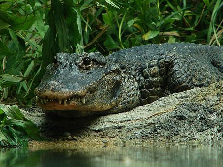 Gõ trống để cổ vũ cá sấu làm