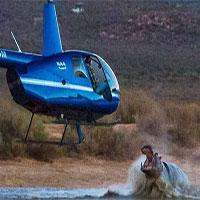 Hà mã lao khỏi mặt nước đớp máy bay trực thăng