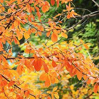Hà Nội khoe sắc vàng rực rỡ mùa lộc vừng thay lá