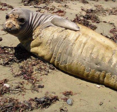 Hải cẩu California thay lông hàng loạt vì nước biển ô nhiễm thủy ngân