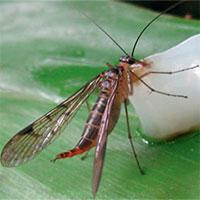 Hai loài ruồi bọ cạp hiếm gặp tìm thấy ở Việt Nam