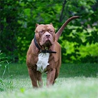 Hàm răng chó Pitbull khỏe cỡ nào mà cắn chết người