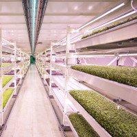 Hầm trú bom biến thành trang trại rau sạch ở London