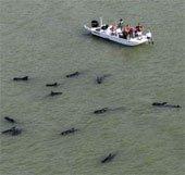 Hàng chục cá voi hoa tiêu mắc cạn ở bãi biển Mỹ