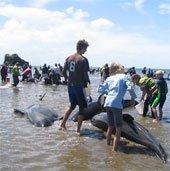 Hàng chục con cá voi mắc cạn tại bờ biển New Zealand