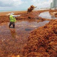 Hàng chục nghìn tấn tảo đuôi ngựa