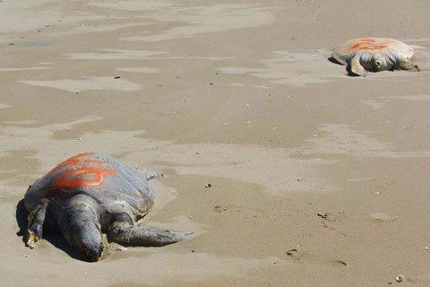 Hàng loạt rùa xanh chết bí ẩn ở Úc